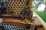 Резиденция пчел